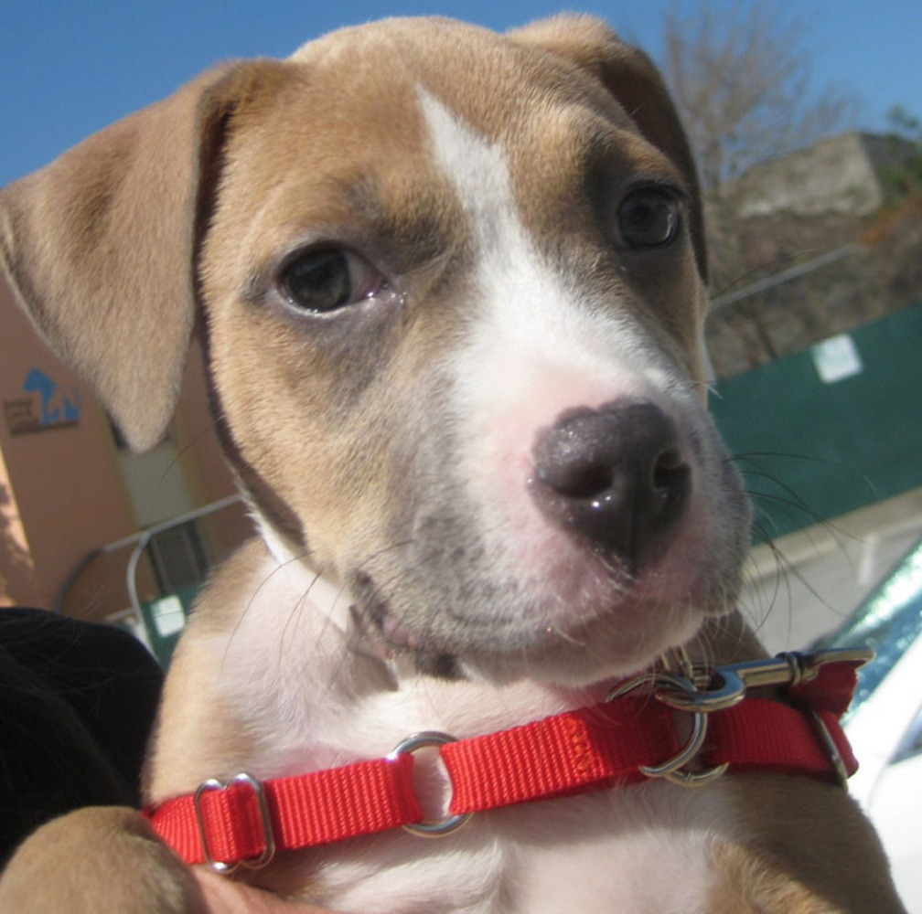 Willow is a 3 month old female American Pit Bull terrier mix.