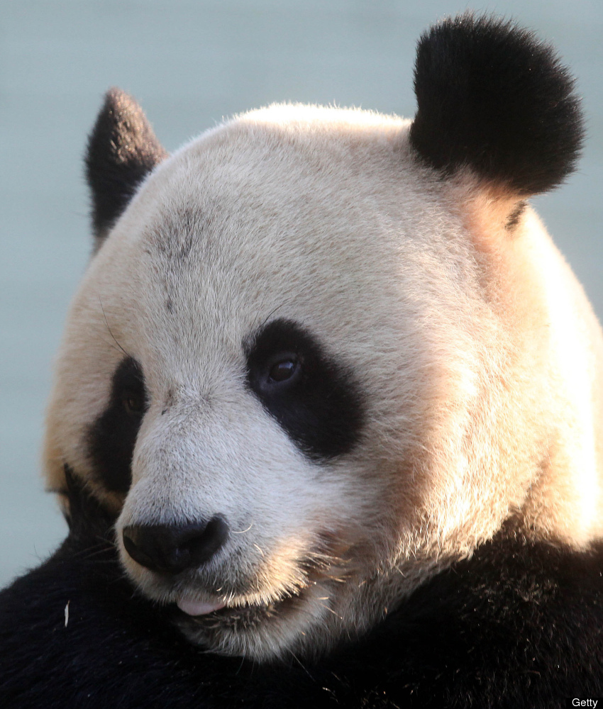 Male giant Panda Yang Guang (Sunshine) relaxes in his enclosure at Edinburgh Zoo on December 12, 2011.  The pair of giant pan