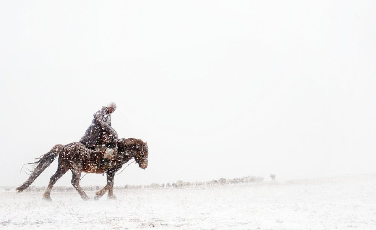 A herder rides out into a late-winter snow storm to herd his sheep and goats.