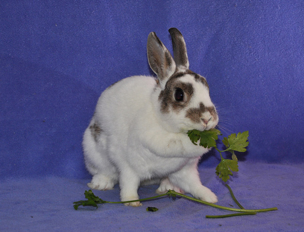 Marcy is a female 1-2-year-old Dwarf/English Spot mix rabbit. Visit Marcy at the Red Door Animal Shelter, 2410 W. Lunt Ave.,