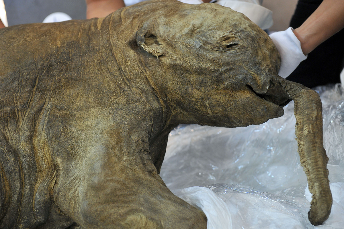 The carcass of the world's most well-preserved baby mammoth, named Lyuba, is displayed in Hong Kong on April 10, 2012.  Lyuba
