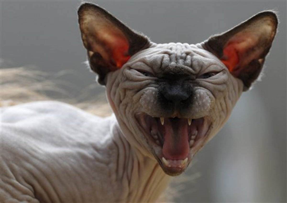 The Sphynx cat reacts during an international cat beauty show in Vilnius, Lithuania, Saturday, April 7, 2012. (AP Photo/Minda