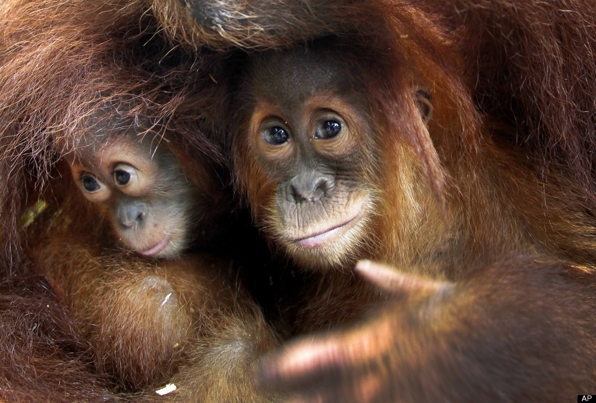 <em>From AP:</em> Sumatoran Orang Utans, Ishta, left, and Bino, both are one-year-old, peep from the safety of their elder Tu