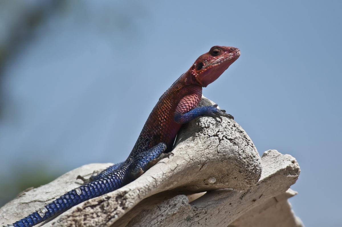 "Agama Lizard (<a href=""http://www.flickr.com/photos/puliarfanita/6070295884/"" target=""_hplink"">puliarf</a>, Flickr)"
