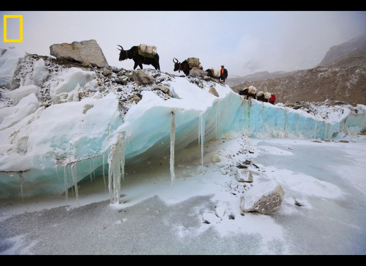 Yaks carrying gear over the Khumbu Glacier en route from Kathmandu to the Everest Base Camp.  Cory Richards/National Geogra