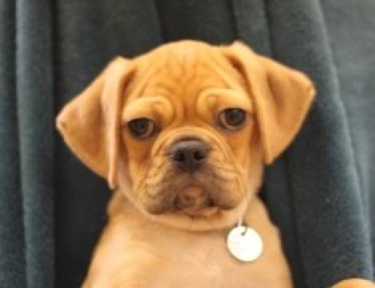 Fenway is a male 2-month-old pug/beagle mix puppy. Visit Fenway at the Naperville Area Humane Society at 1620 W. Diehl Road i
