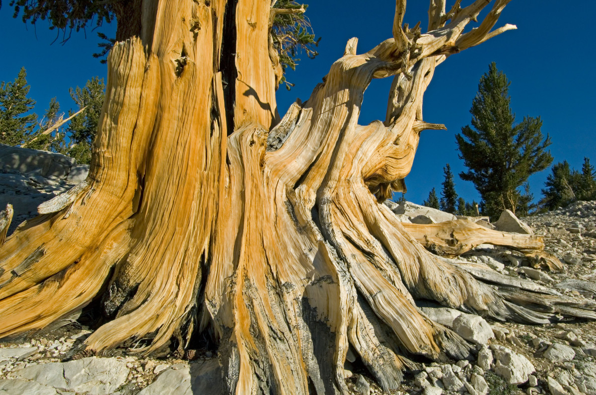 """The oldest living tree in the world is a White Mountains, California, bristlecone pine (Pinus longaeva) named Methuselah, af"