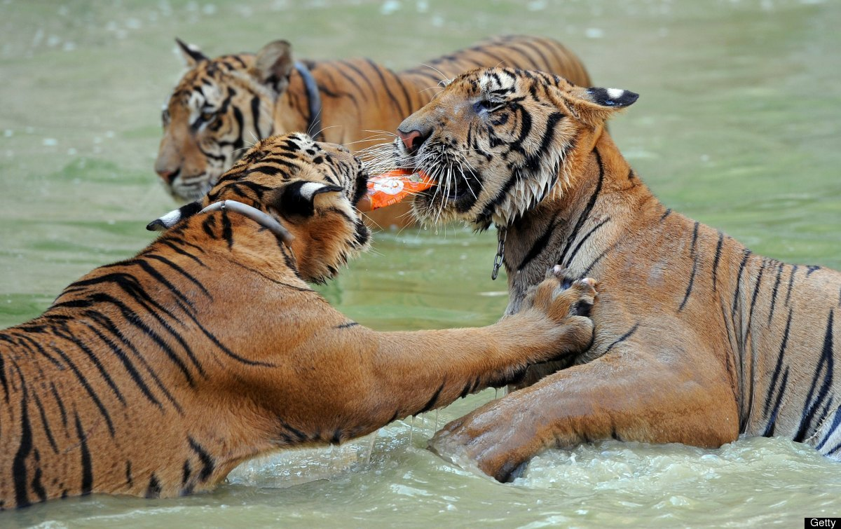 <em>From Getty:</em> Tigers play with plastic bottle at Tiger buddhist temple in Karnchanaburi province western of Thailand o