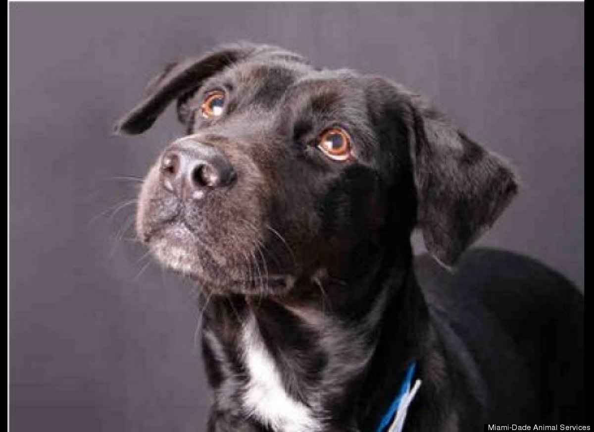 Niño (#A1267010) is a 1-year-old, unaltered male, black-and-white Labrador Retriever. He was surrendered when his owner was m