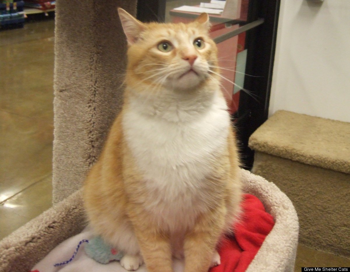 Samuel is a male, two year old, orange and white shorthair. Visit him at the Petco at 1591 Sloat Blvd., San Francisco.