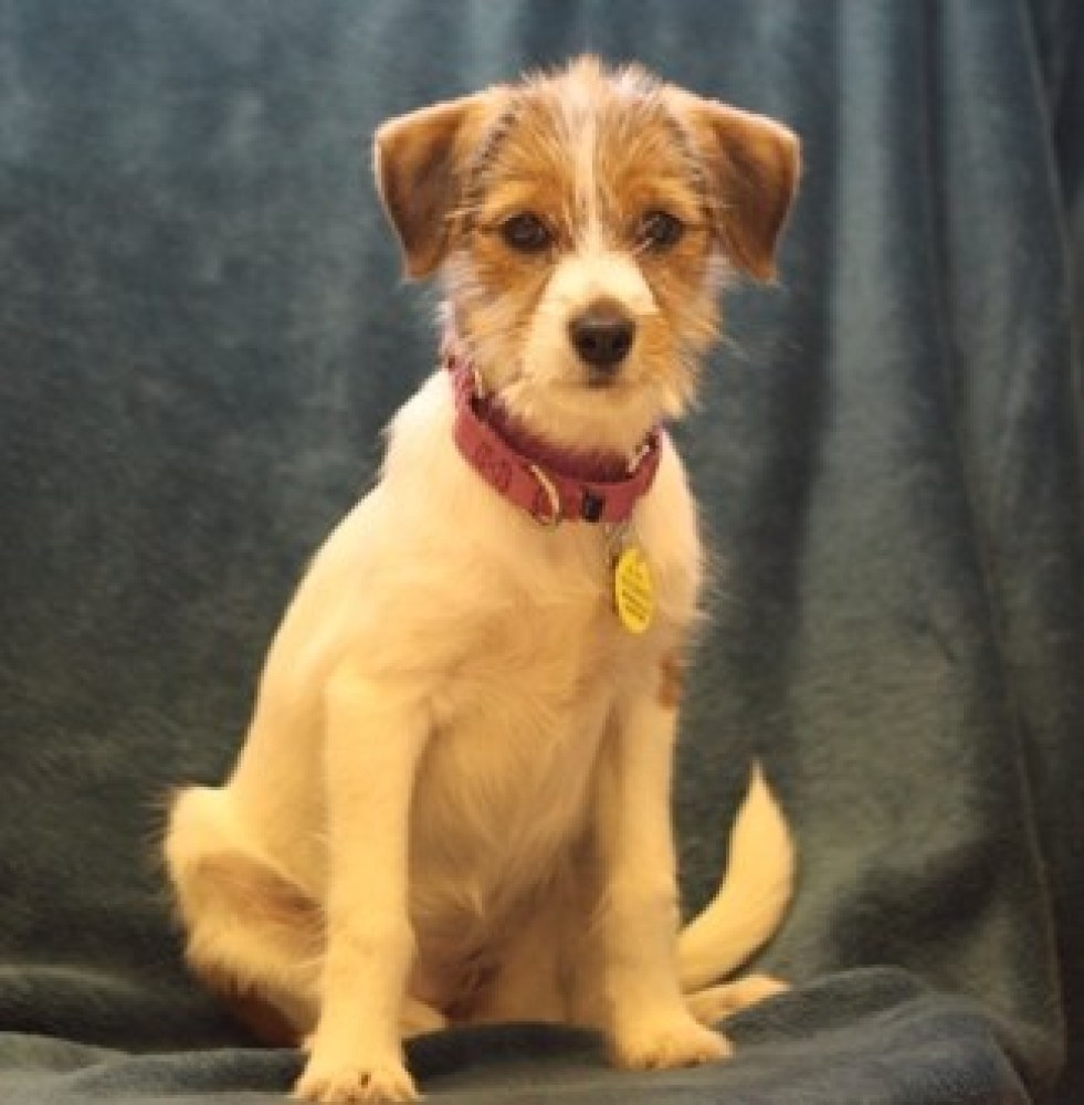 Bella is a female 4-month-old Jack Russell Terrier mix. Visit Bella at the Naperville Area Humane Society at 1620 W. Diehl Ro