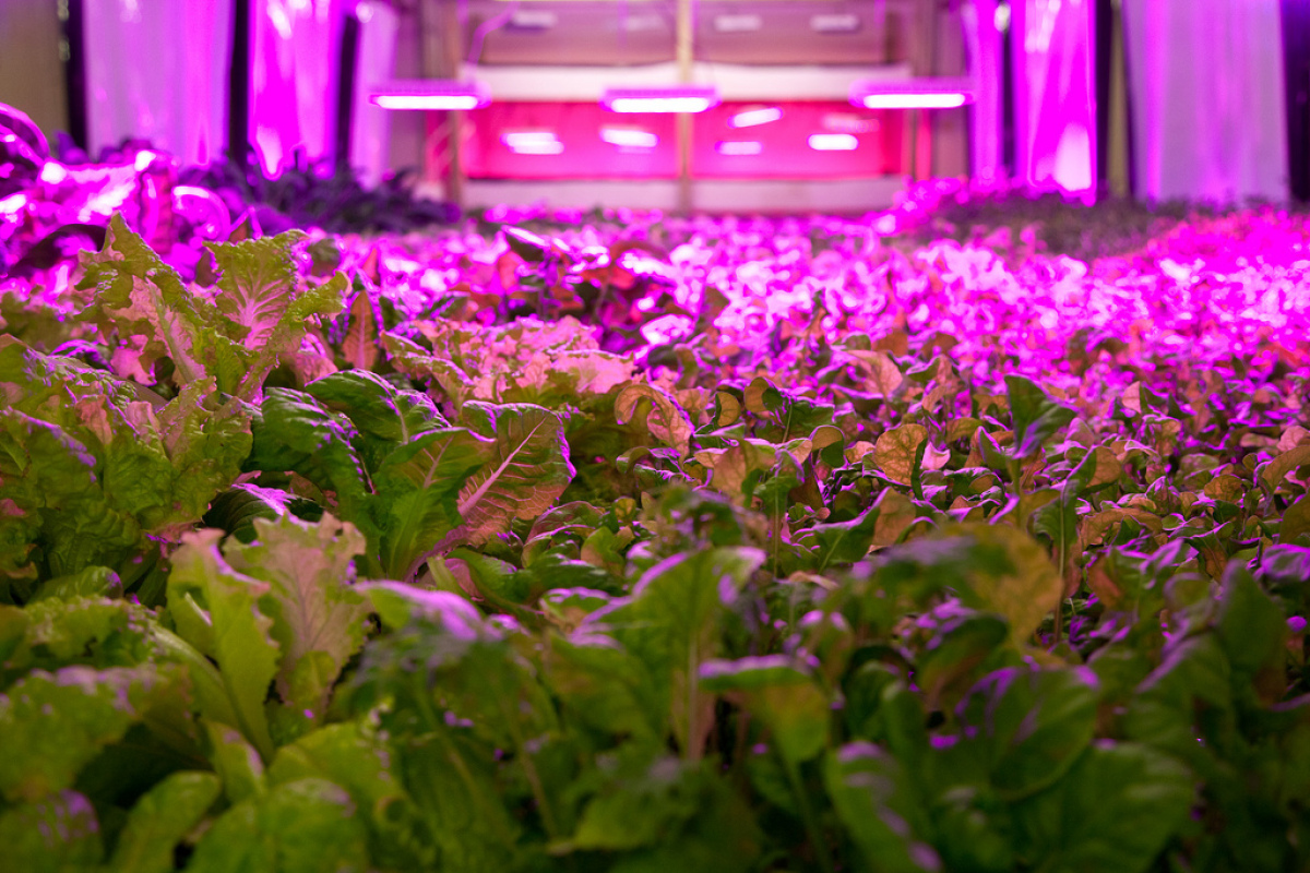 Light that shines on the Plant's hydroponic gardens is powered by electricity generated by an anaerobic digester. (Flickr: Th