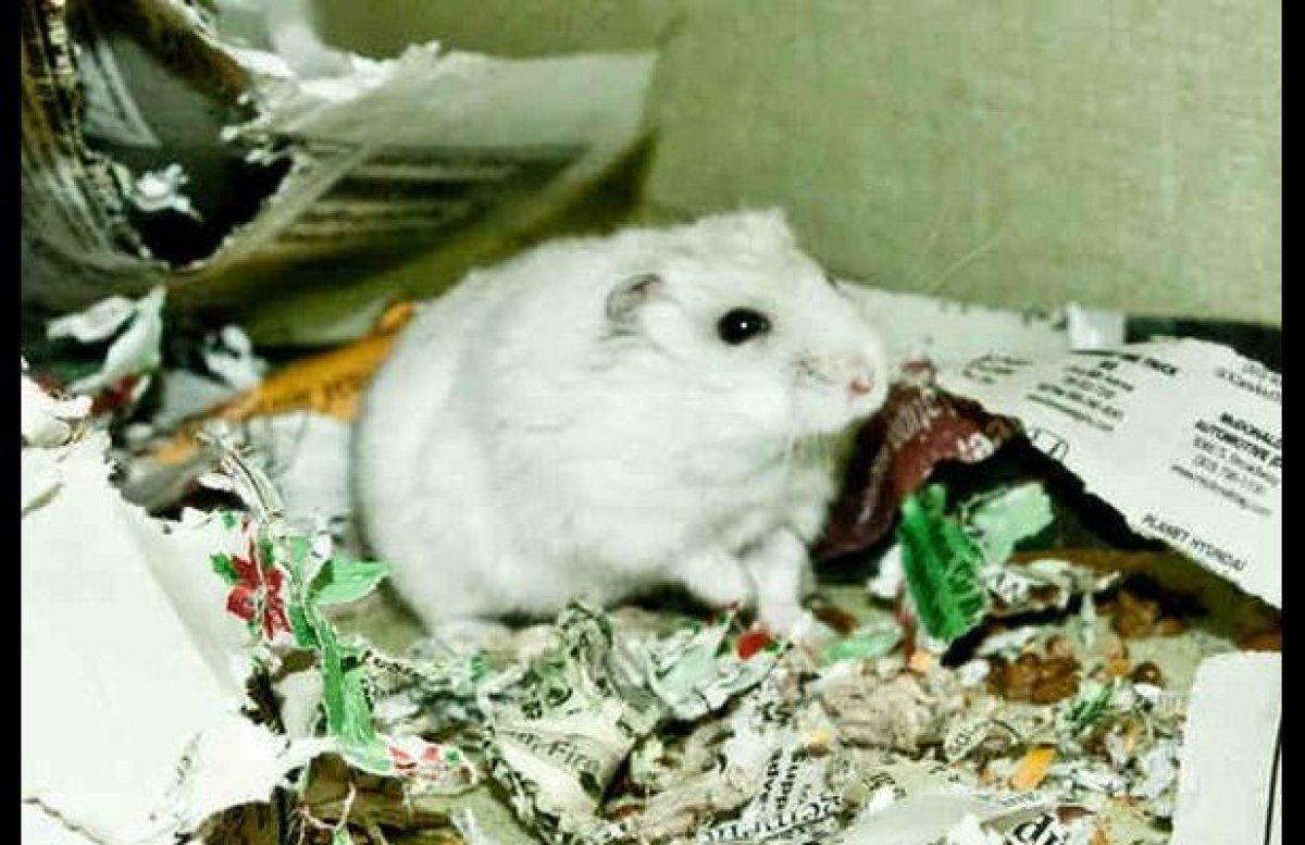 "Madison the great male seale point hamster, whose namesake James Madison was the 4th president of the United States, the ""Fat"