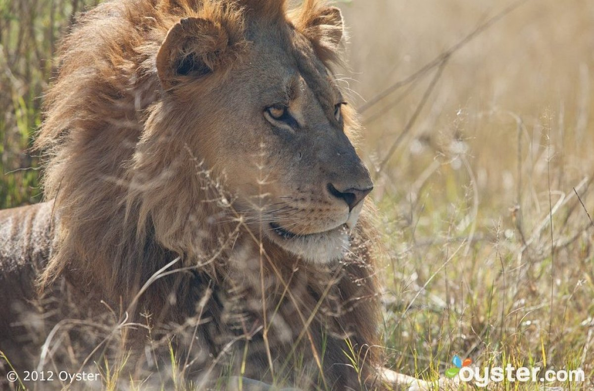 """Oyster's Pick for Where to See It: <a href=""""http://www.oyster.com/botswana/hotels/nxabega-okavango-tented-camp/"""" target=""""_hpl"""