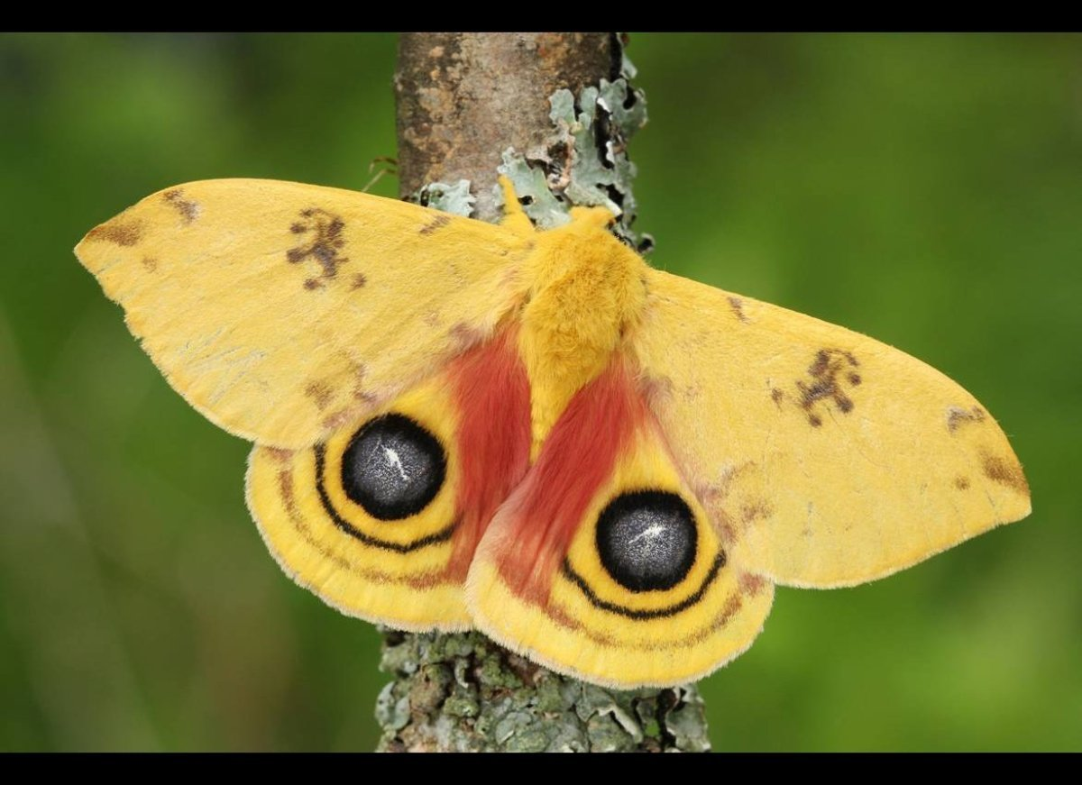 This beautiful silk moth is commonly found in woodlands throughout the northeastern region. It flashes the remarkable eyespot