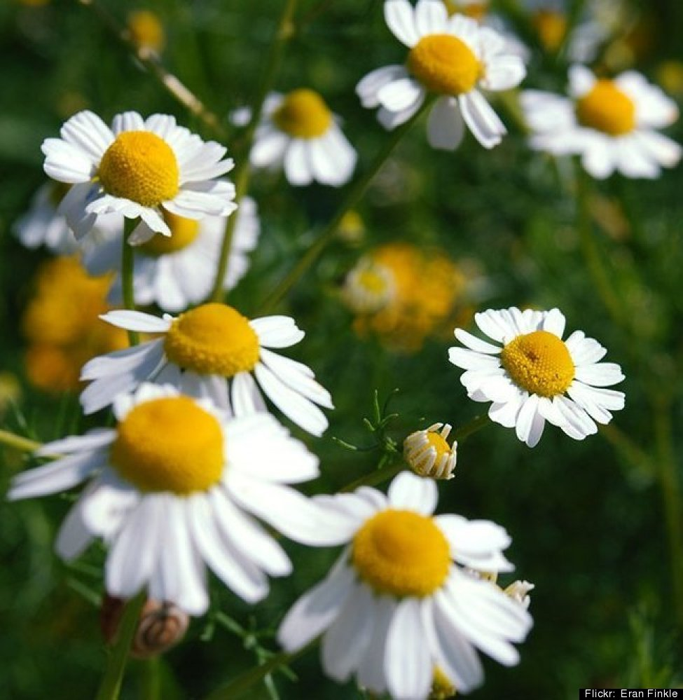 But of course! Use the whole flowers, fresh or dried. Chamomile is an age-old remedy for anxiety, upset stomach, and headache