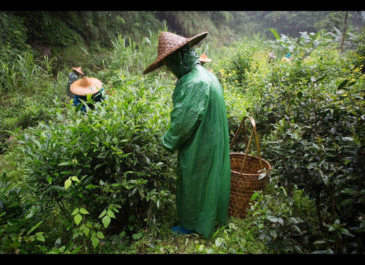 Farm workers pick tea leaves in the rain on May 12, 2012 in Wuyishan, Fujian province, southeastern China. (Kevin Zen, Getty