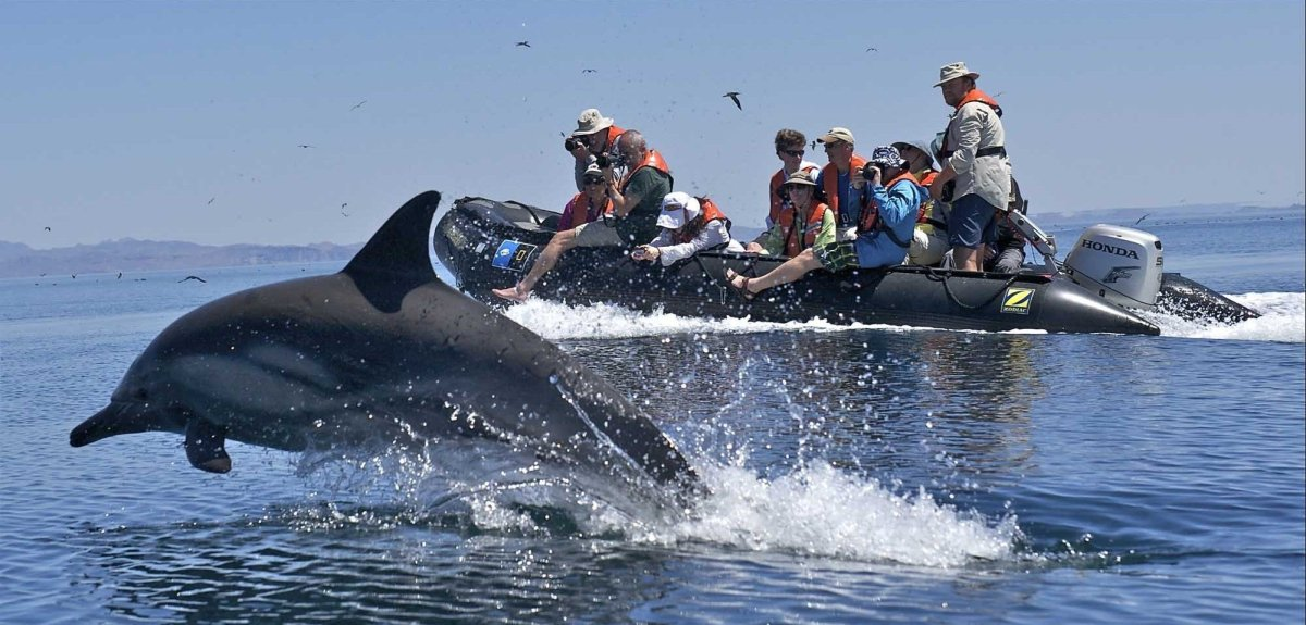 Dolphins bow riding our ship and Zodiacs is a common sight and excellent photo op. Photo ©Sven-Olof Lindblad