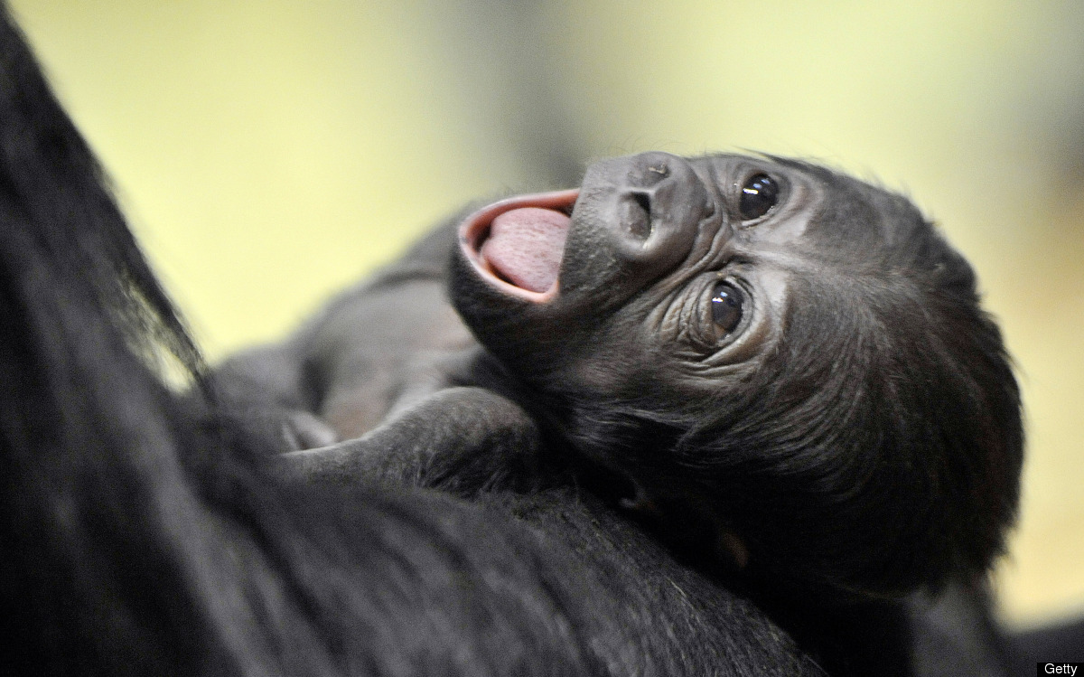 A new born gorilla baby hangs on its mother N'Yaounda in Budapest Zoo  on January 14, 2010.  The baby gorilla was born on Jan