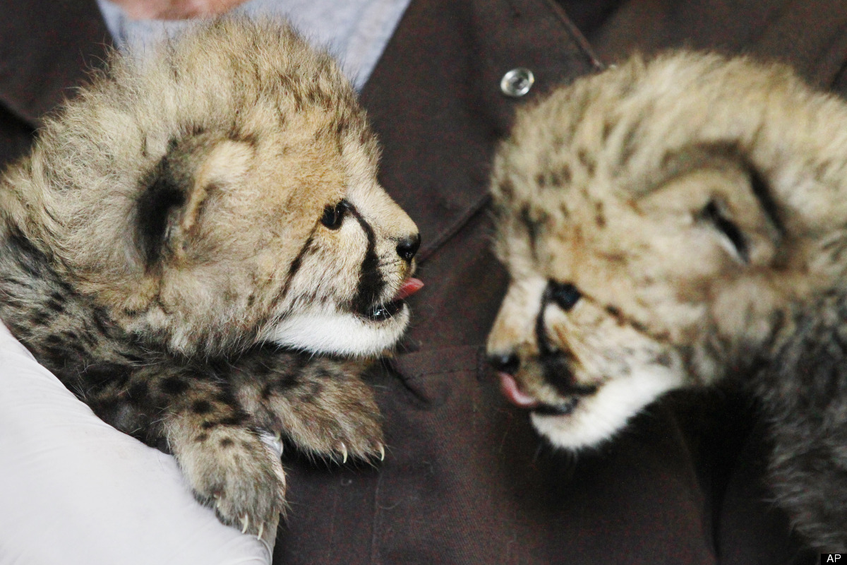 A one-month-old female cheetah cub, left, delivered via a rare caesarian section, and her brother, delivered naturally but th