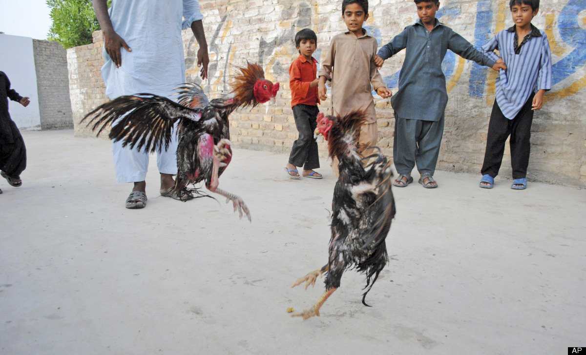 Pakistani boys watch a cockfight in Hyderabad, Pakistan, Thursday, May 31, 2012. (AP Photo/Pervez Masih)
