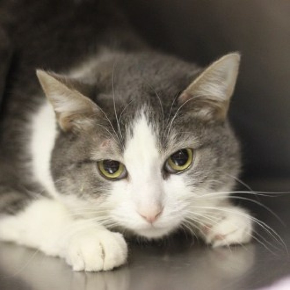 Magoo is a 3-year-8-month-old female domestic shorthair. Visit Magoo at the Naperville Area Humane Society at 1620 W. Diehl R
