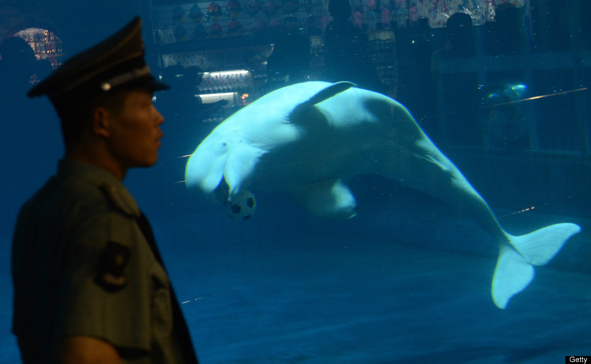 A beluga whale plays with a soccer ball at the Beijing Aquarium on May 30, 2012. The aquarium, which is the largest in China