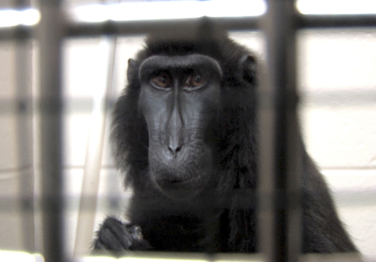 This is a handout photo from the Columbus Zoo and Aquarium of one of two macaques that were captured by authorities Wednesday