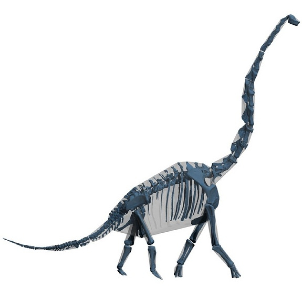 "Computer ""skin and bones"" model of Brachiosaurus. In analysis of computer models of modern mammals, they are about 20 percent"