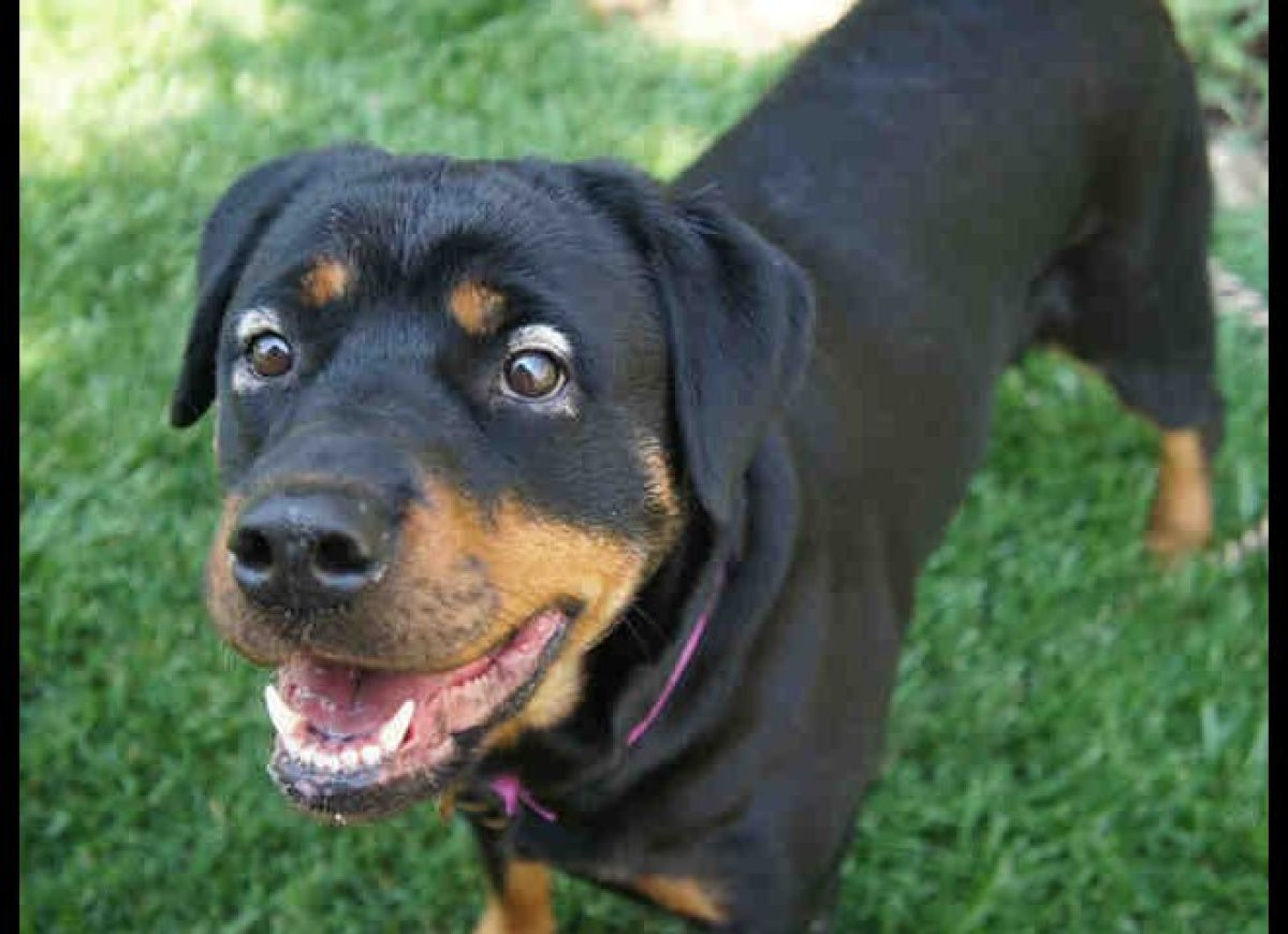 Diva is a purebred rottweiler who's about 3-years-old and looking for a home.   <em>Call the Dumb Friends League's Quebec S