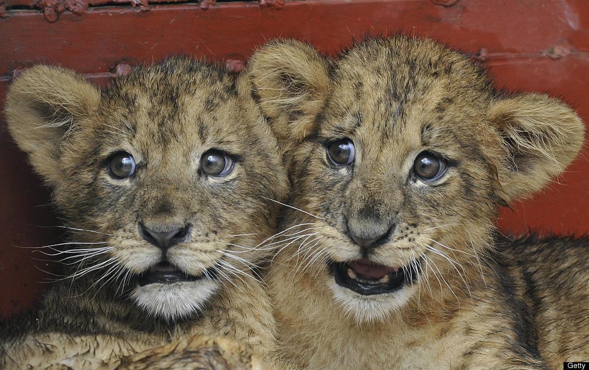 Kenya Wildlife service rangers examine two-month-old lion cubs on June 7,2012 in a quarantine room of the Kenya Wildlife Serv