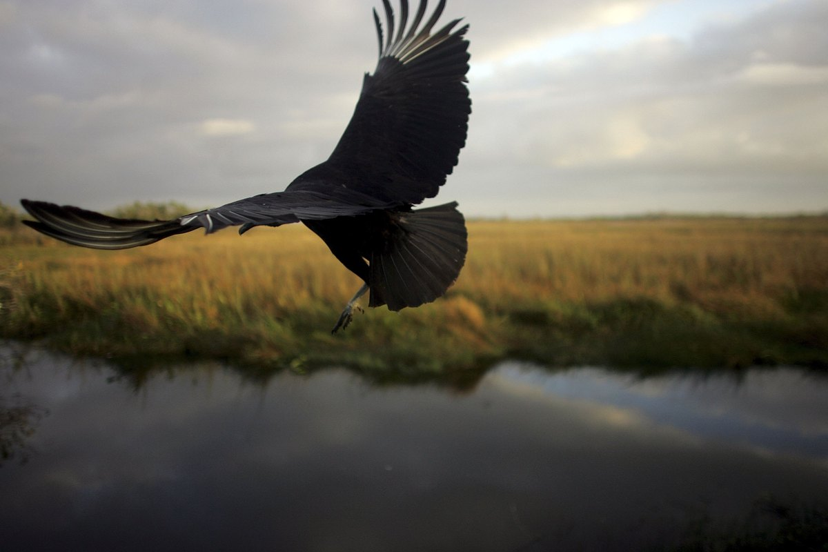 EVERGLADES, FL - DECEMBER 20:  A black vulture flies after being spotted during the Audubon Societies Christmas Bird Count De