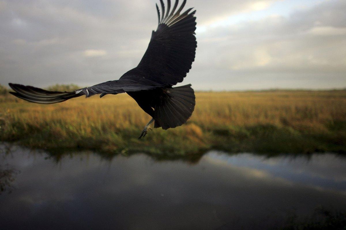 EVERGLADES, FL - DECEMBER 20:  A black vulture flies after being spotted during the Audubon Societies Christmas Bird Count De