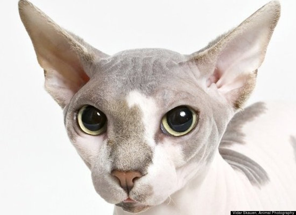 "Rounding out the list at No. 10 is the <a href=""http://www.vetstreet.com/cats/sphynx"" target=""_hplink"">Sphynx</a>. A suede-li"