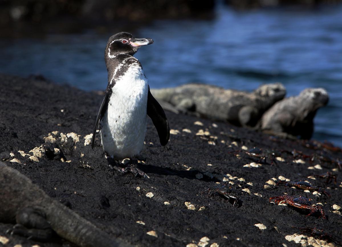 A Galapagos Penguins, marine iguanas and sally lightfoot crabs at Punta Moreno, Isabela Island. (CREDIT: Carrie Niland)