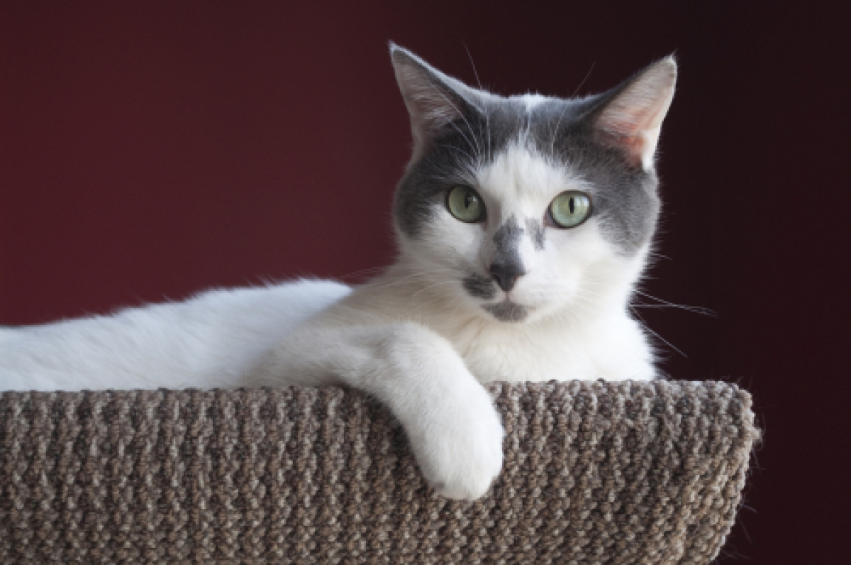 Thomas George is a male 2-year-old Turkish Van/Domestic Short Hair mix. Visit Thomas George at Felines and Canines at 1962. W