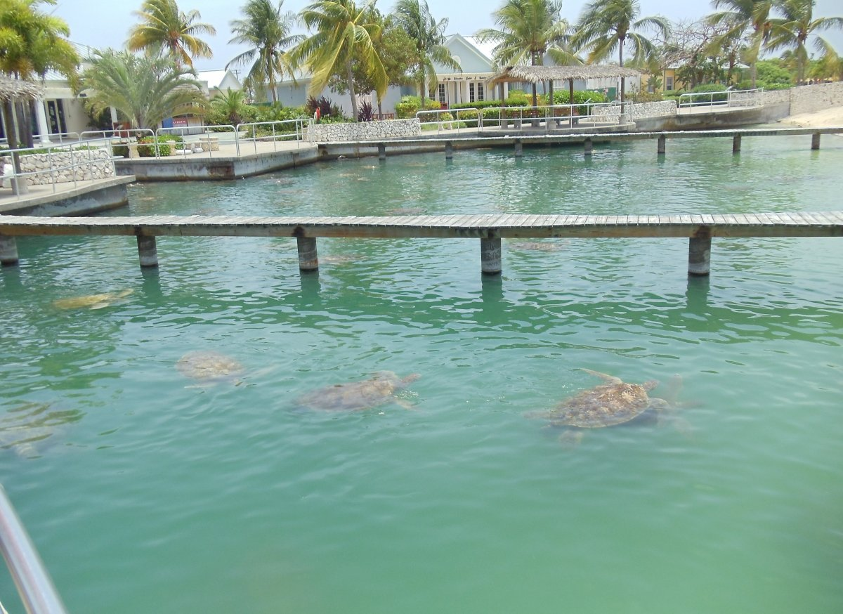 The Green Turtle Breeding Pond is one of the first things you see upon entering Cayman Turtle Farm. The Pond contains over 35