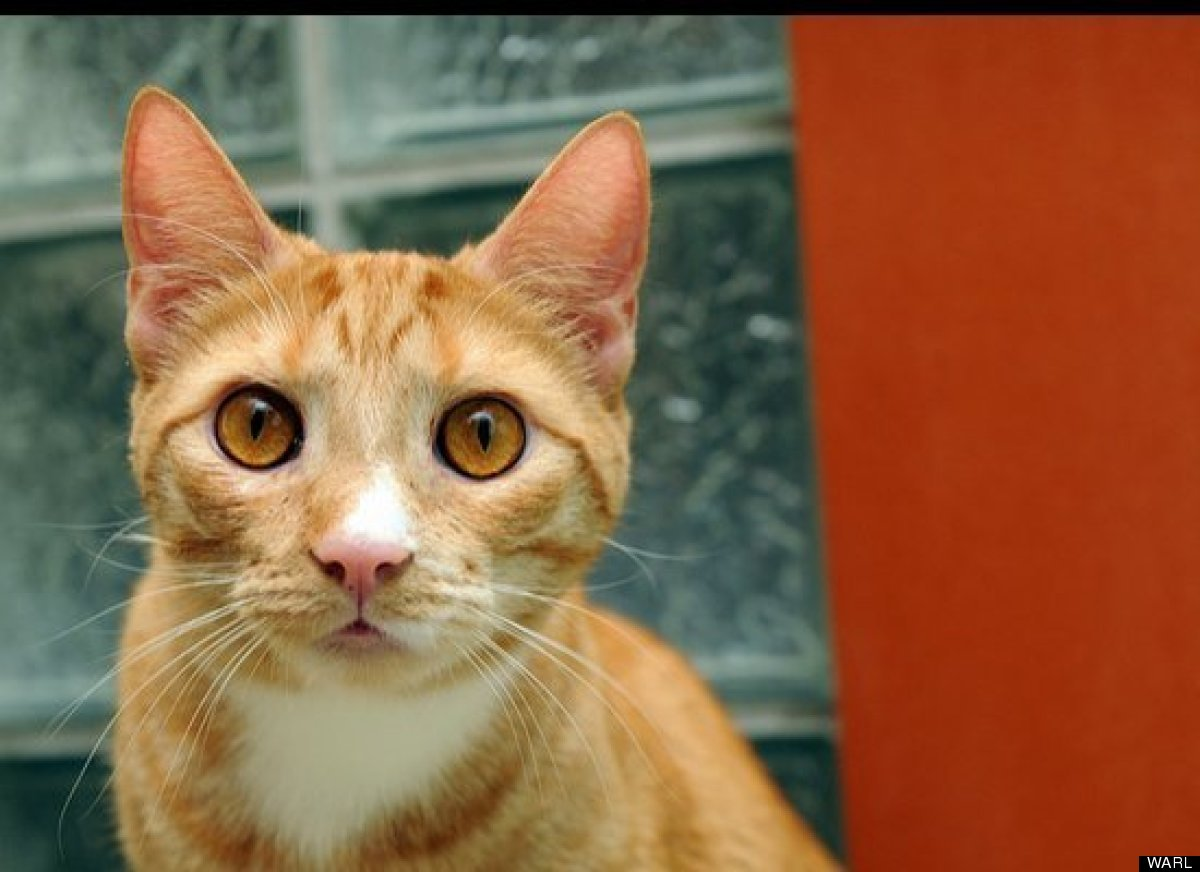 Once a wallflower, Emile is now Mr. Personality. This 1.5-year-old male orange tabby likes to know what's going on and will t