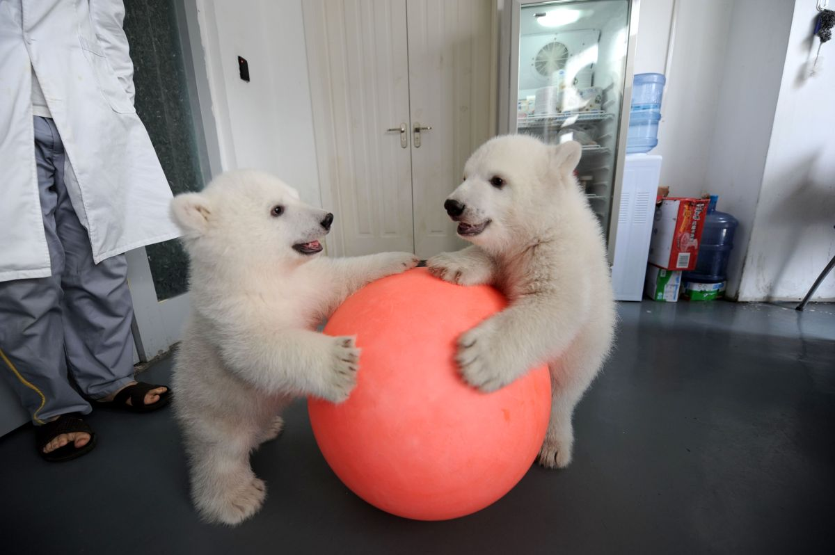 A pair of hand-reared polar bears have celebrated their 100 day milestone at Tianjin Haichang Ocean World in northern China.