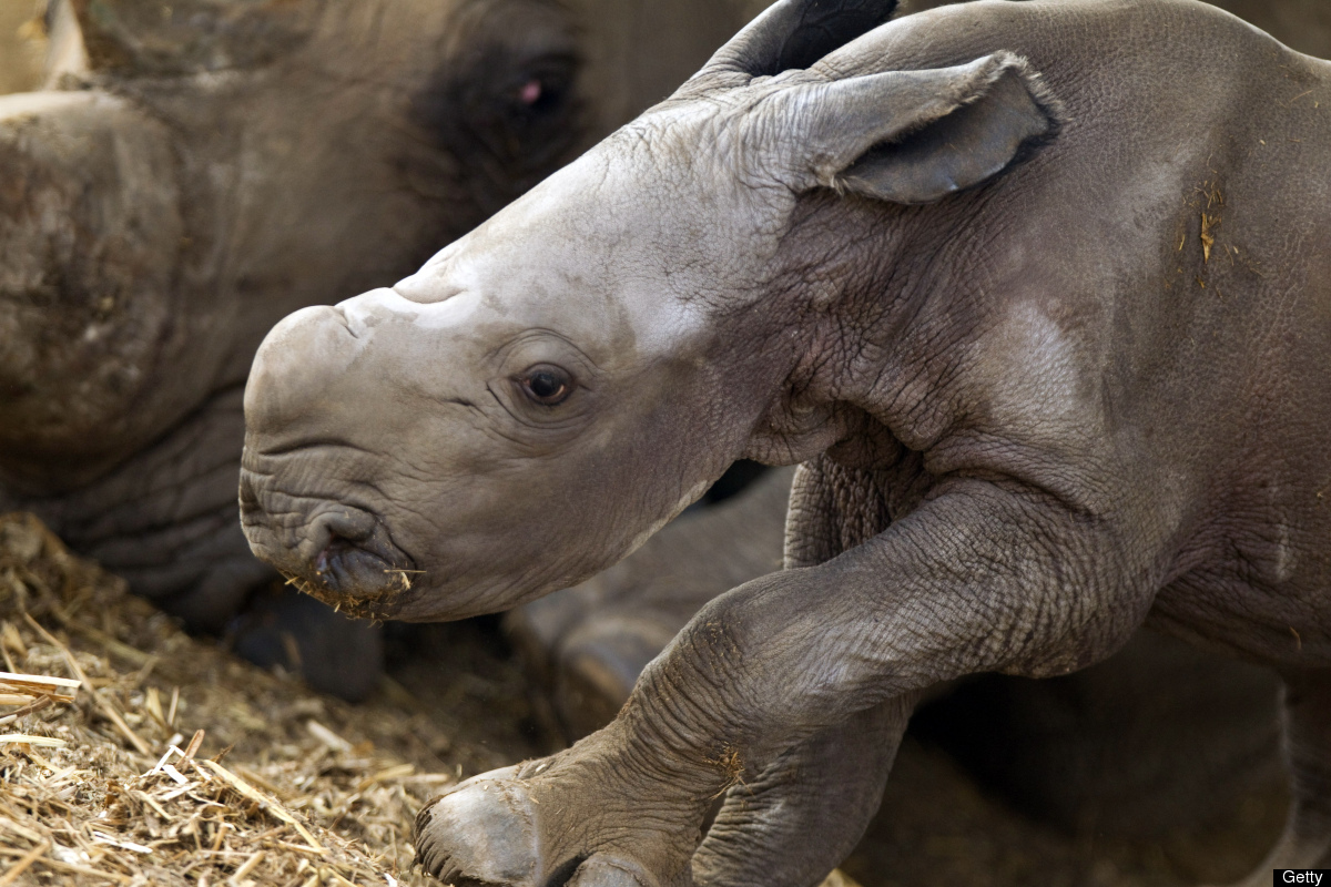 Tanda the rhinoceros and her four-hour-old baby are seen at the Ramat Gan Safari, an open-air zoo near Tel Aviv, on June 15,