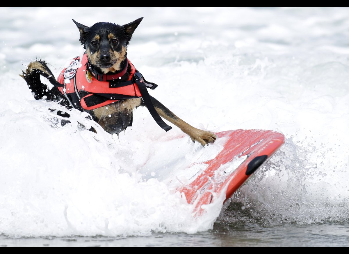 Jedi, a two-year-old Australian Kelpie, wipes out while surfing in the Incredible Dog Challenge dog surfing competition Frida