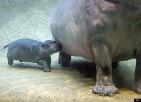 A baby hippo swims next to its mother in the Kathi Zoo in Berlin.