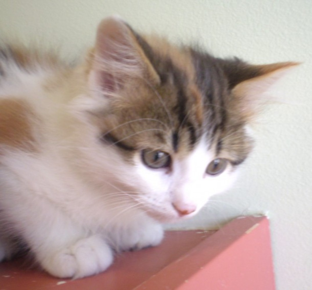 "Bixby is a very sweet 11-week-old female kitten. Visit Bixby at PAWS Chicago, 1997 N. Clybourn Avenue, Chicago. <a href=""http"