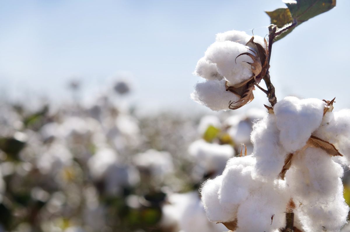 """""""Cotton is an absorbent fibre and likely absorbs a lot of the odour molecules,"""" says Rachel McQueen, a professor of textile s"""