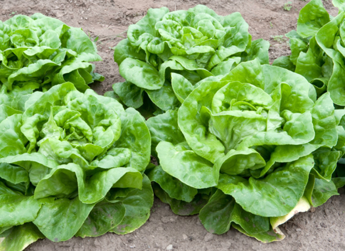 Boston (a.k.a. Bibb) lettuce is delicate lettuce with pale green, soft cup-shaped leaves. The flavor is mild and sweet. Somet
