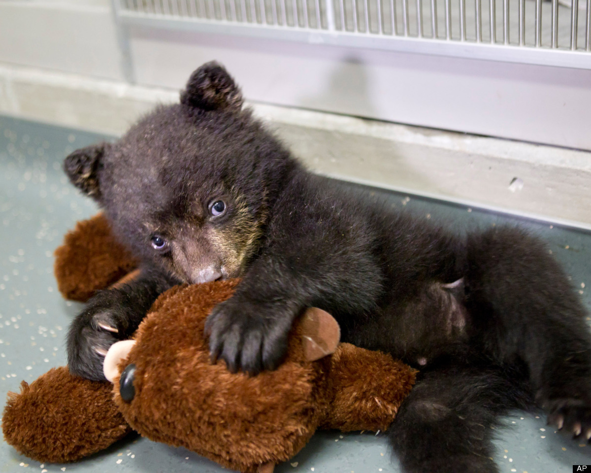 In this undated photo provided by the Oregon Zoo, a quarantined black bear cub plays with his stuffed otter toy at The Oregon