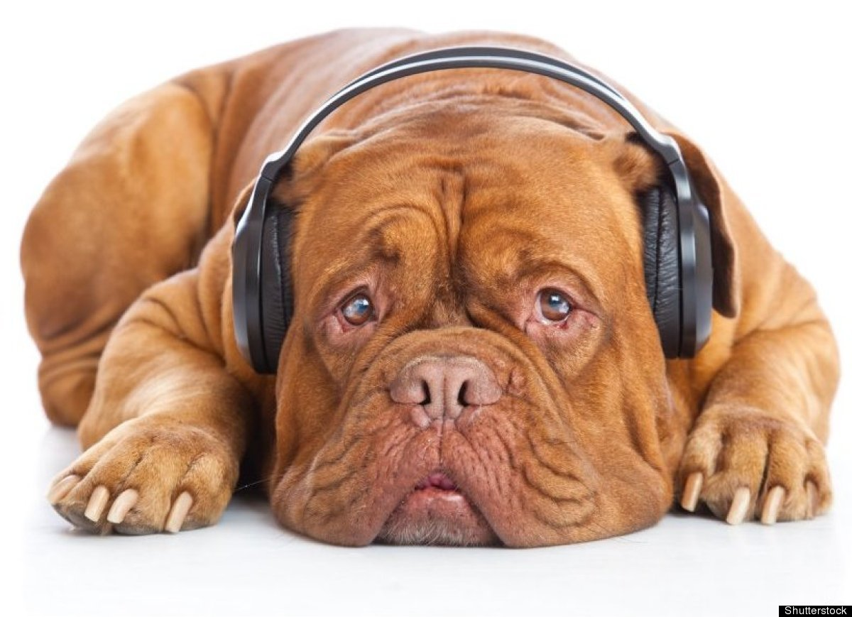 Desensitize anxious dogs by introducing music or similar sounds. Redenbach has been introducing loud music to prepare her <a