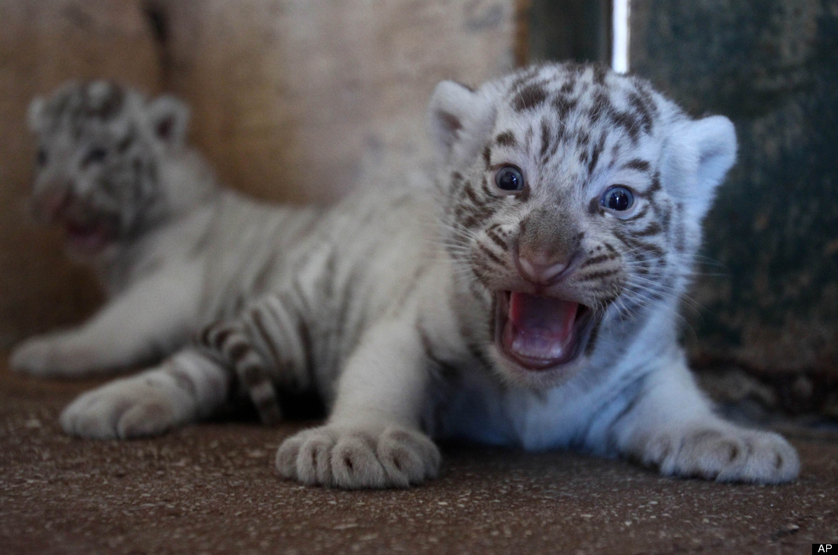 Two-month old white tiger cubs roar at the Attica Zoological Park in Spata, near Athens, Friday, June 29, 2012. (AP Photo/Tha