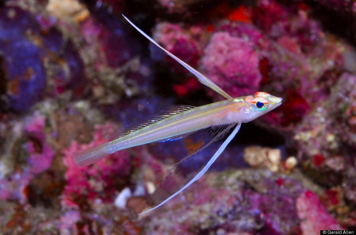 NEW SPECIES: Pterapsaron longipinnis - A deep reef species (below 60m depth) discovered in Cendrawasih Bay in West Papua; the