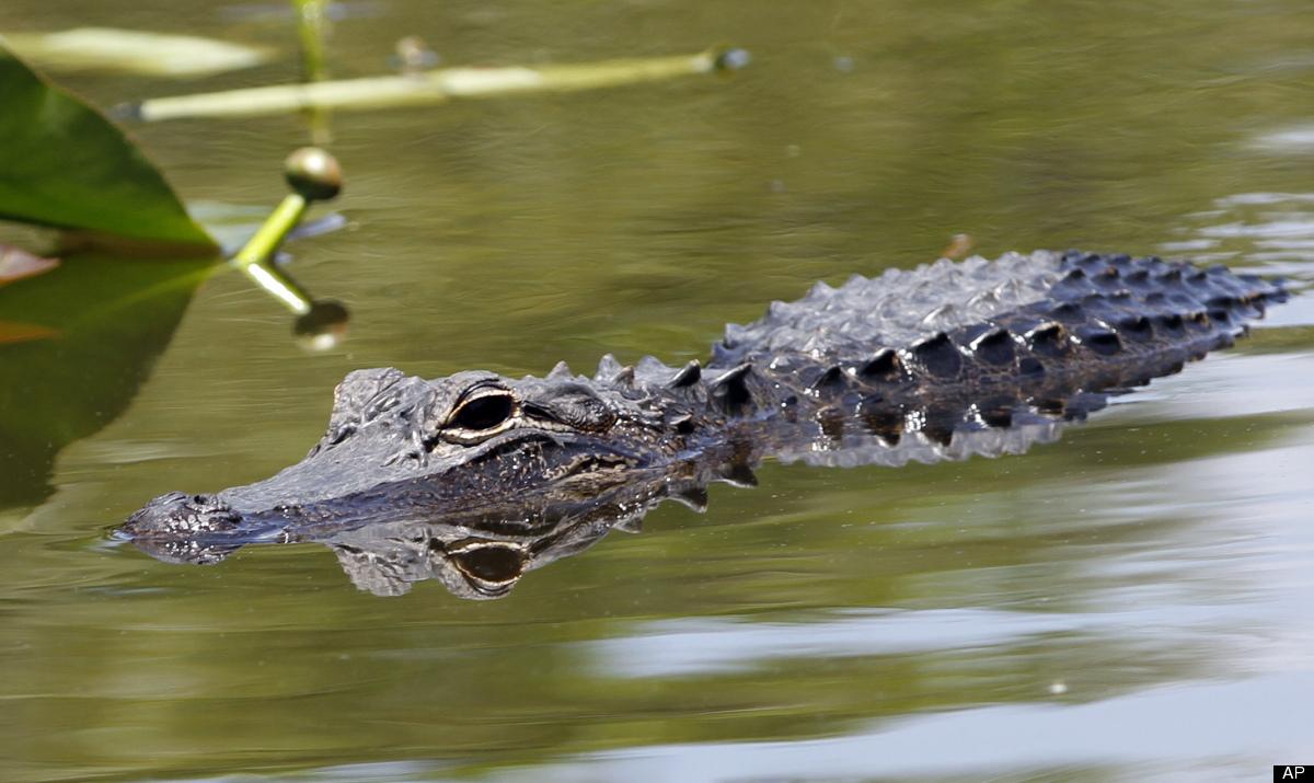 "In Port Allen, LA, a man <a href=""http://www.huffingtonpost.com/2012/04/12/alligator-visits-louisian_0_n_1420218.html"" target"